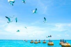 Gaviotas que circundan sobre el mar en busca de la comida en un fondo del mar y del cielo azul Pájaros de mar en vuelo en busca d Fotos de archivo