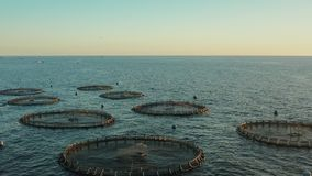 Gaviotas que circundan sobre una granja de pescados en el océano abierto durante puesta del sol metrajes