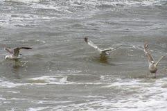 Gaviotas que nadan en ondas Foto de archivo