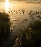 Gaviotas que se bañan en la puesta del sol de Laguna Madre Fotos de archivo