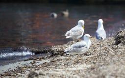 Gaviotas que se colocan en la orilla Foto de archivo libre de regalías