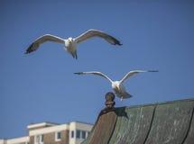 Gaviotas que vuelan contra un cielo azul Fotos de archivo