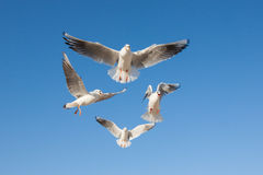 Gaviotas que vuelan en el cielo azul Fotos de archivo libres de regalías