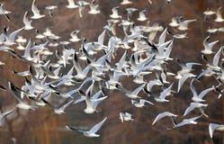 Gaviotas que vuelan en el lago Nebunu en la puesta del sol Foto de archivo libre de regalías