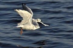 Gaviotas que vuelan en el mar Fotografía de archivo
