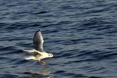Gaviotas que vuelan en el mar Imagen de archivo
