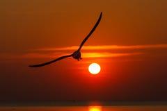 Gaviotas que vuelan en la puesta del sol Imágenes de archivo libres de regalías