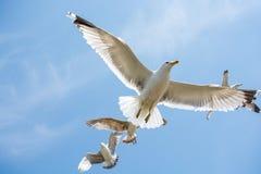 Gaviotas que vuelan en un cielo Fotos de archivo