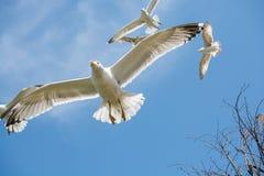 Gaviotas que vuelan en un cielo Foto de archivo libre de regalías