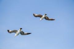 Gaviotas que vuelan en un cielo Imagen de archivo libre de regalías