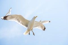 Gaviotas que vuelan en un cielo Imagenes de archivo