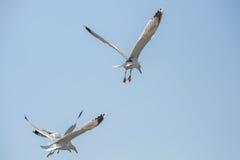 Gaviotas que vuelan en un cielo Imágenes de archivo libres de regalías
