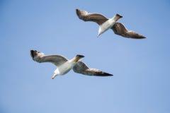Gaviotas que vuelan en un cielo Fotos de archivo libres de regalías