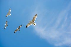 Gaviotas que vuelan en un cielo Fotografía de archivo