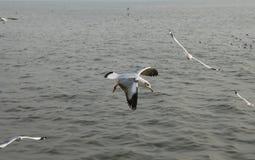 Gaviotas que vuelan sobre el río Foto de archivo libre de regalías