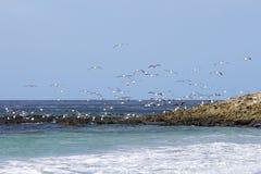 Gaviotas que vuelan sobre la costa, Falkland Islands Foto de archivo libre de regalías