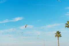 Gaviotas que vuelan sobre las palmeras en la playa de La Jolla Imagen de archivo