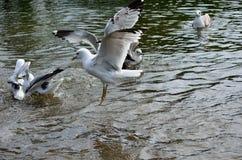 Gaviotas que vuelan y que aterrizan en la charca Fotografía de archivo