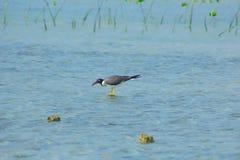 Gaviotas que vuelan y que pescan por el lado de mar con el fondo del océano y del cielo azul Fotografía de archivo libre de regalías