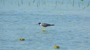 Gaviotas que vuelan y que pescan por el lado de mar con el fondo del océano y del cielo azul Imagen de archivo