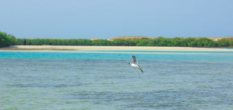 Gaviotas que vuelan y que pescan por el lado de mar con el fondo del océano y del cielo azul Foto de archivo libre de regalías
