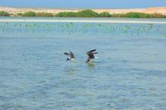 Gaviotas que vuelan y que pescan por el lado de mar con el fondo del océano y del cielo azul Imagenes de archivo