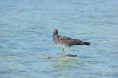 Gaviotas que vuelan y que pescan por el lado de mar con el fondo del océano y del cielo azul Fotos de archivo
