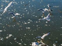 Gaviotas sobre el lago congelado Foto de archivo
