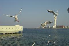 Gaviotas sobre el mar y en aire Fotografía de archivo