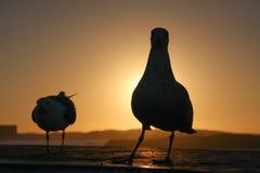 Gaviotas y el sol poniente Fotos de archivo libres de regalías