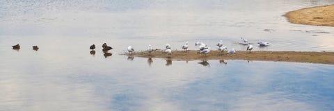 Gaviotas y patos en la playa Fotos de archivo