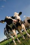 Gawędzenie Krowy Obraz Royalty Free