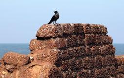 Gaworzy na antycznej kamiennej ścianie Aguada fort, Goa, India Zdjęcia Stock