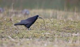 Gawron, Corvus frugilegus Zdjęcia Stock
