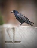 Gawron na gravestone rynku z krzyżem Zdjęcia Stock
