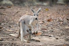 Gay kangaroo with joey Stock Photos