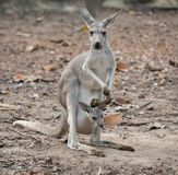 Gay kangaroo with joey Royalty Free Stock Image
