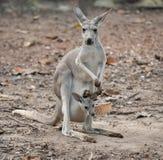 Gay kangaroo with joey. Female gray kangaroo with joey in pouch Royalty Free Stock Image