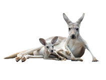 Gay kangaroo with joey. Female gray kangaroo with joey in pouch isolated Royalty Free Stock Photos