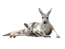 Gay kangaroo with joey Royalty Free Stock Photos
