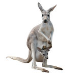 Gay kangaroo with joey Stock Image