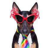 Gay pride dog royalty free stock image