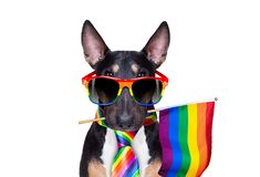 Gay pride dog. Crazy funny gay pitbull dog proud of human rights ,sitting and waiting, with rainbow flag tie  and sunglasses , isolated on white background royalty free stock photography