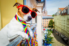 Isolated on white background Gay pride dog