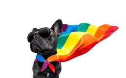Gay pride dog. Fairy  funny gay french bulldog  dog proud of human rights waving  with lgbt rainbow flag and sunglasses , isolated on white background stock images