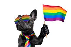 Gay pride dog. Fairy  funny gay french bulldog  dog proud of human rights waving  with lgbt rainbow flag and sunglasses , isolated on white background stock photography