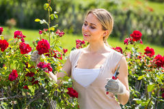 Gay young woman working with bush roses with horticultural tools. In garden on sunny day Stock Photography