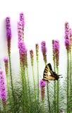 Gayfeather en vlinder royalty-vrije stock afbeelding