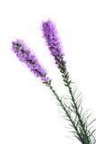 Gayfeather kwiat Zdjęcie Royalty Free