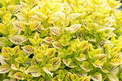 Gays Delight. Plant background lime green yellow stock photography